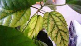 Болезни и вредители гибискуса. Проблемы выращивания