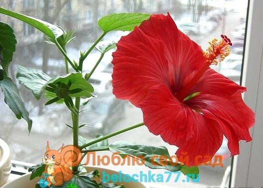 Почему гибискус не цветет