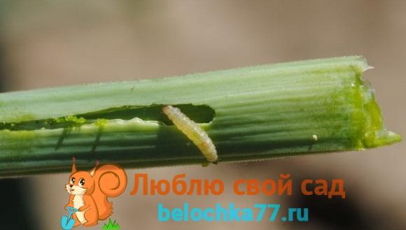 Личинка луковой моли