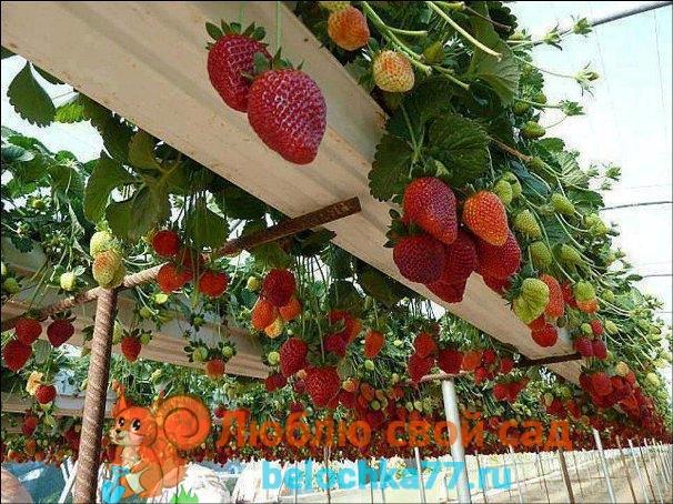 Ремонтантная клубника - выращивние и уход
