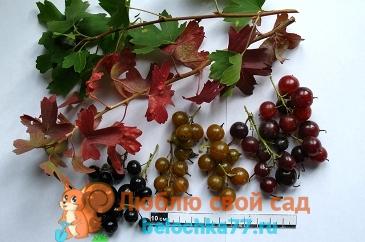 Золотистая смородина - описание, фото, сорта, выращивание