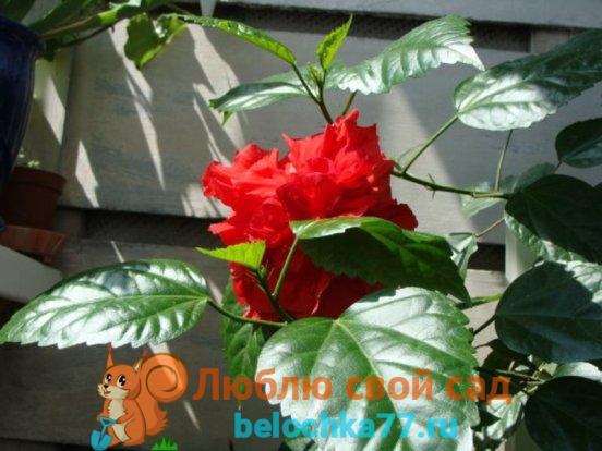 Китайская роза гибискус уход