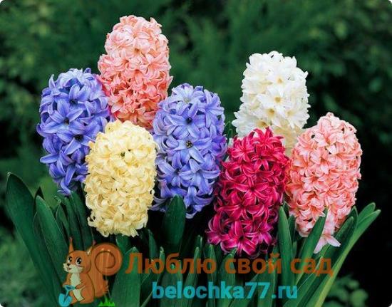 ранние цветы с фото и названием гиацинты
