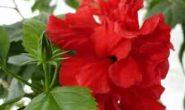 Китайская роза - гибискус - уход в домашних условиях