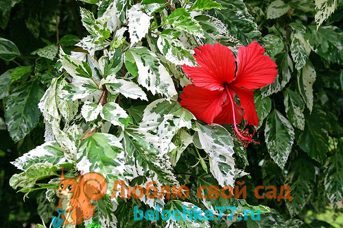 Гибискус китайская роза - уход, описание