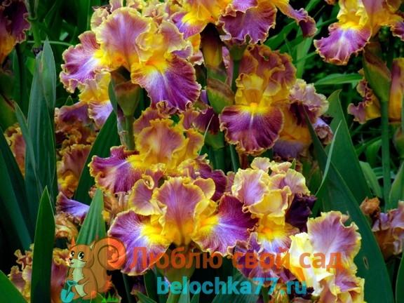 ирисы многолетние цветы для дачи