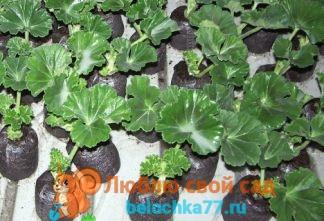 Кумкват: выращивание 95