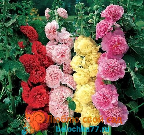 Шток роза с фото