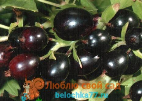 Золотистая смородина - Ribes aureum