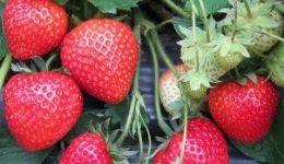 Ремонтантная клубника - выращивание и уход в теплице и открытом грунте