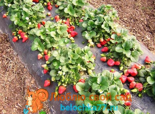 выращивания ремонтантной клубники в открытом грунте