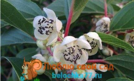 http://belochka77.ru/wp-content/uploads/2017/02/1433350369_kak-otlichit-aktinidiyu-muzhskuyu-ot-zhenskoy-foto2-a.jpg