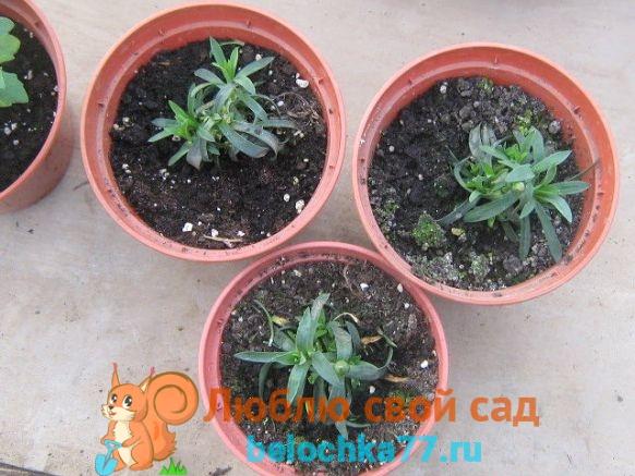 гвоздика Шабо -выращивание и уход