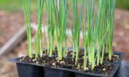 Лук-порей - посадка на рассаду из семян. Сорта с фото и описанием. Когда сажать рассаду. Выращивание и уход, уборка и хранение