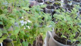 Выращивание рассады в улитках и пелёнках. Описание способа Юлии Миняевой с фото и видео