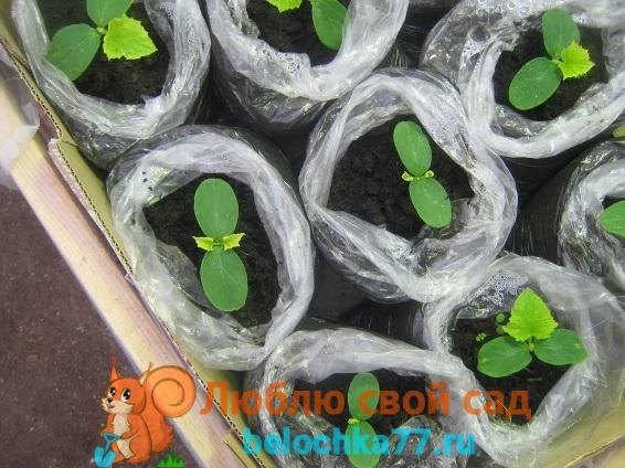 Определение оптимальных сроков посева семян огурцов для Подмосковья урала и сибири