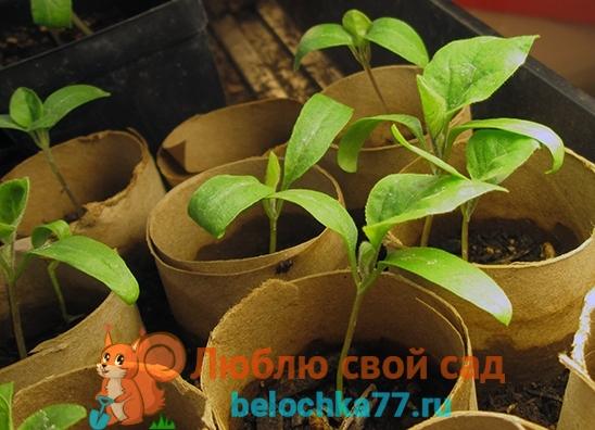 посев семян баклажан