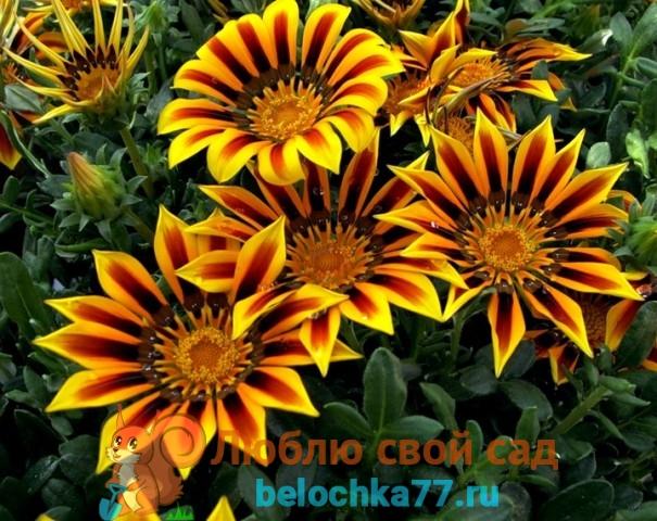 Уход за цветами гацании летом