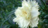 Гвоздика Шабо - выращивание из семян