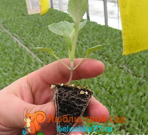 Особенности выращивания отдельных видов капусты