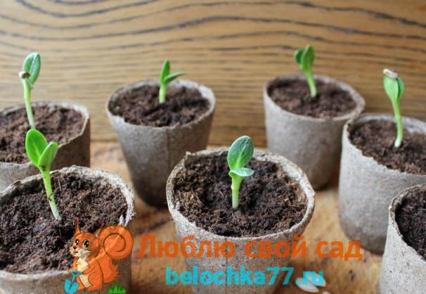 Выбор тары для посева семян огурцов