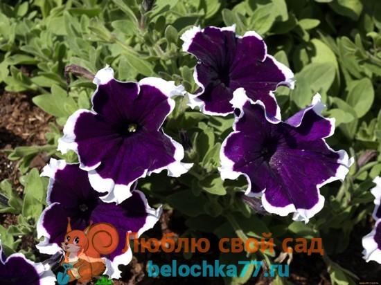 Когда сеять петунии на рассаду в Подмосковье, на Урале, в Сибири