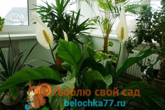 освещение, влажность, иемпературадля цветения спатифиллума