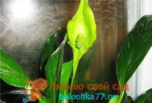 Почнму спатифиллум цветет зелёными цветами