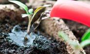 Как поливать рассаду правильно