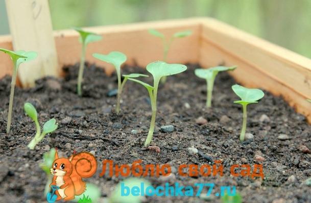 Когда сеять семена капусты на рассаду по Лунному календарю