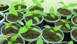 Что сажать на рассаду в феврале? Какие цветы сеять в феврале?