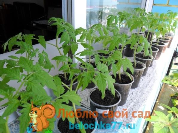 когда сеять рассаду помидор для теплицы,для открытого грунта