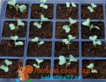 Когда сеять семена капусты на рассаду