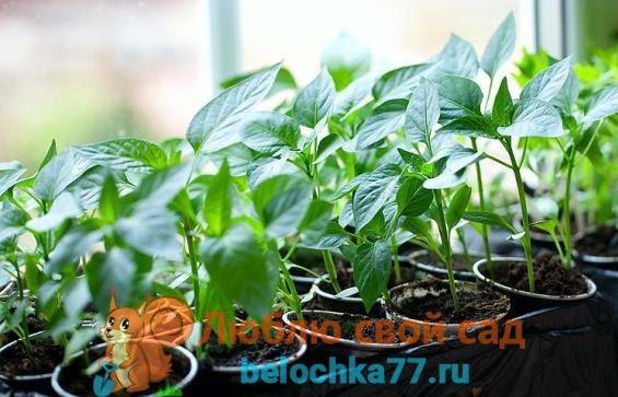 когда сеять семена болгарского перца в 2017 году