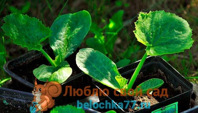 Выращивание кабачков через рассаду