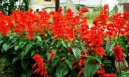 Сальвия: фото цветов - когда и как сажать на рассаду. Выращивание, посадка и уход.
