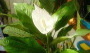 Почему не цветёт спатифиллум?