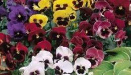 Виола - выращивание из семян через рассаду