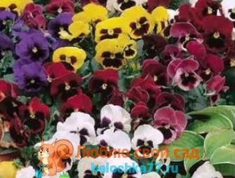 Анютины глазки - выращивание из семян с фото и видео