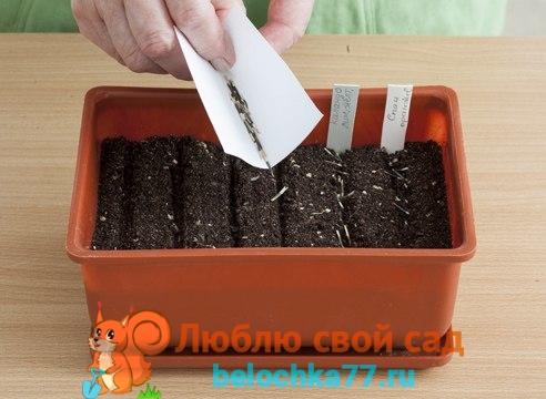 Как правильно посадить рассаду бархатцев в домашних условиях