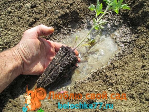 Минусы раннего посева - переросшая рассада