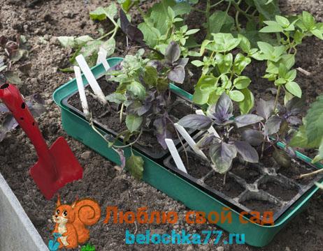 Уход за рассадой и высаженным растением