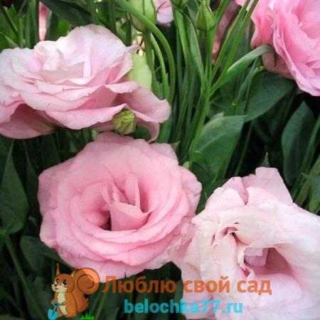 Эустома розовая сорт Пикот Пинк.