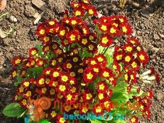 Примула многолетняя - посадка и уход, фото цветов