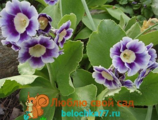Auricula Альпийская светло-фиолетовая