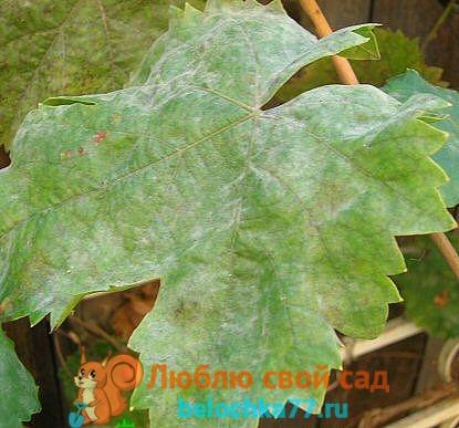 Оидиум мучнистая роса винограда