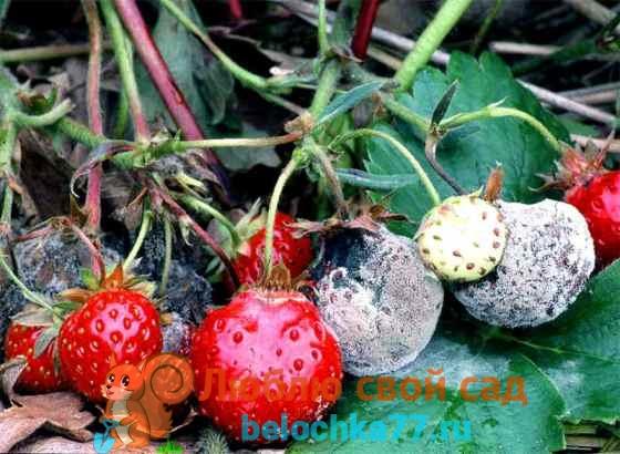 Как и чем обрабатывать клубнику весной против болезней