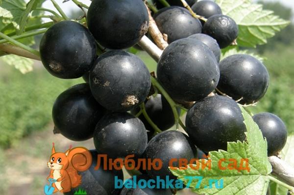 Об особенностях чёрной смородины