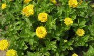 Цинния — выращивание из семян. Когда сеять на рассаду