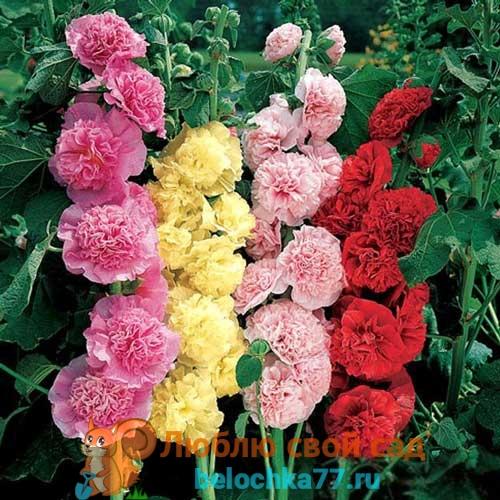 Махровая шток роза